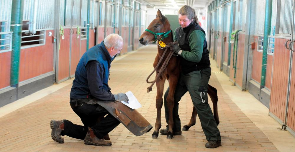 The Swedish farrier Jörgen Nordqvist examining a foal in a stable
