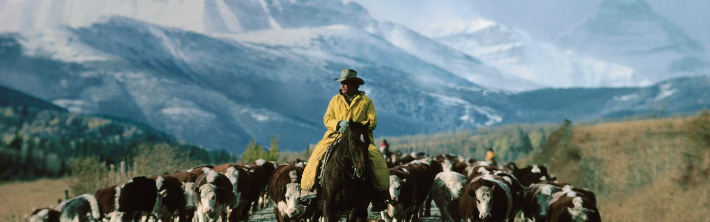 Cowboy on Cattle Drive Alberta, Canada
